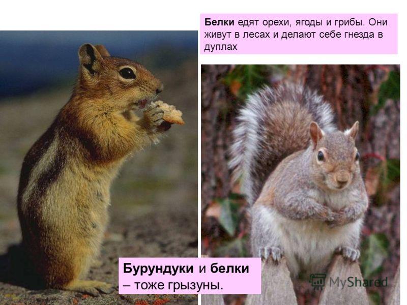 Бурундуки и белки – тоже грызуны. Белки едят орехи, ягоды и грибы. Они живут в лесах и делают себе гнезда в дуплах