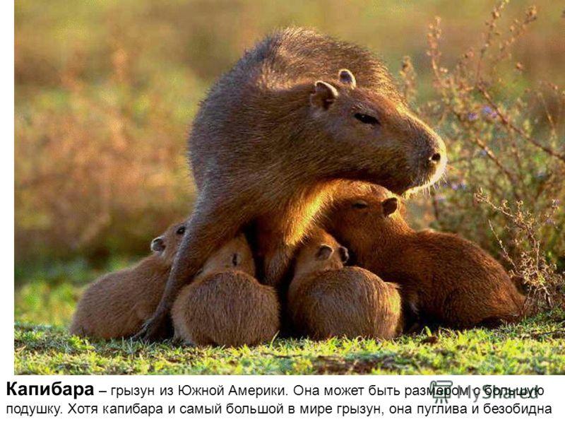 Капибара – грызун из Южной Америки. Она может быть размером с большую подушку. Хотя капибара и самый большой в мире грызун, она пуглива и безобидна