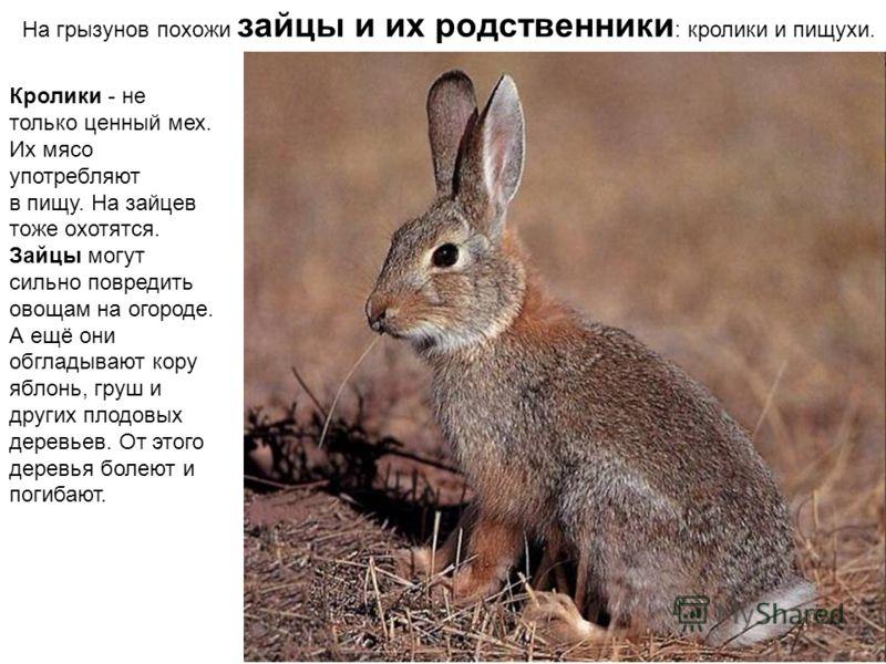На грызунов похожи зайцы и их родственники : кролики и пищухи. Кролики - не только ценный мех. Их мясо употребляют в пищу. На зайцев тоже охотятся. Зайцы могут сильно повредить овощам на огороде. А ещё они обгладывают кору яблонь, груш и других плодо