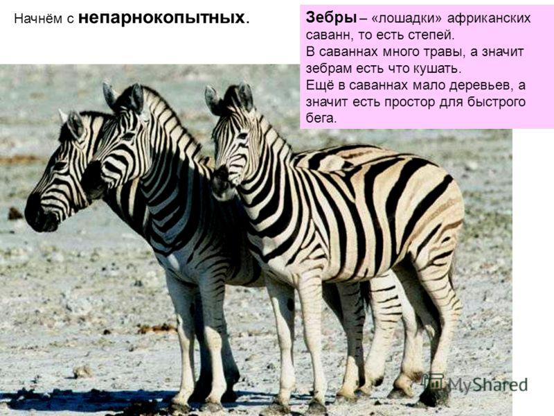 Начнём с непарнокопытных. Зебры – «лошадки» африканских саванн, то есть степей. В саваннах много травы, а значит зебрам есть что кушать. Ещё в саваннах мало деревьев, а значит есть простор для быстрого бега.