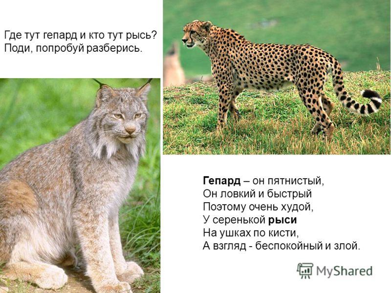 Где тут гепард и кто тут рысь? Поди, попробуй разберись. Гепард – он пятнистый, Он ловкий и быстрый Поэтому очень худой, У серенькой рыси На ушках по кисти, А взгляд - беспокойный и злой.
