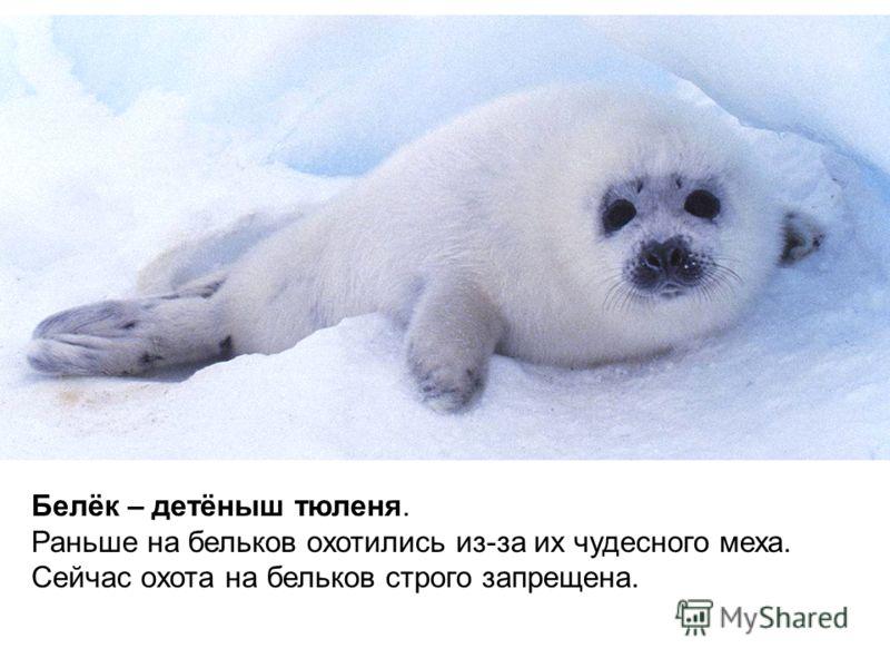 Белёк – детёныш тюленя. Раньше на бельков охотились из-за их чудесного меха. Сейчас охота на бельков строго запрещена.