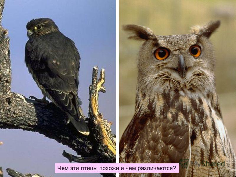 Чем эти птицы похожи и чем различаются?