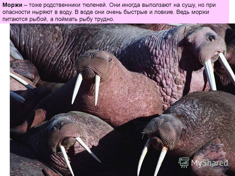 Моржи – тоже родственники тюленей. Они иногда выползают на сушу, но при опасности ныряют в воду. В воде они очень быстрые и ловкие. Ведь моржи питаются рыбой, а поймать рыбу трудно.