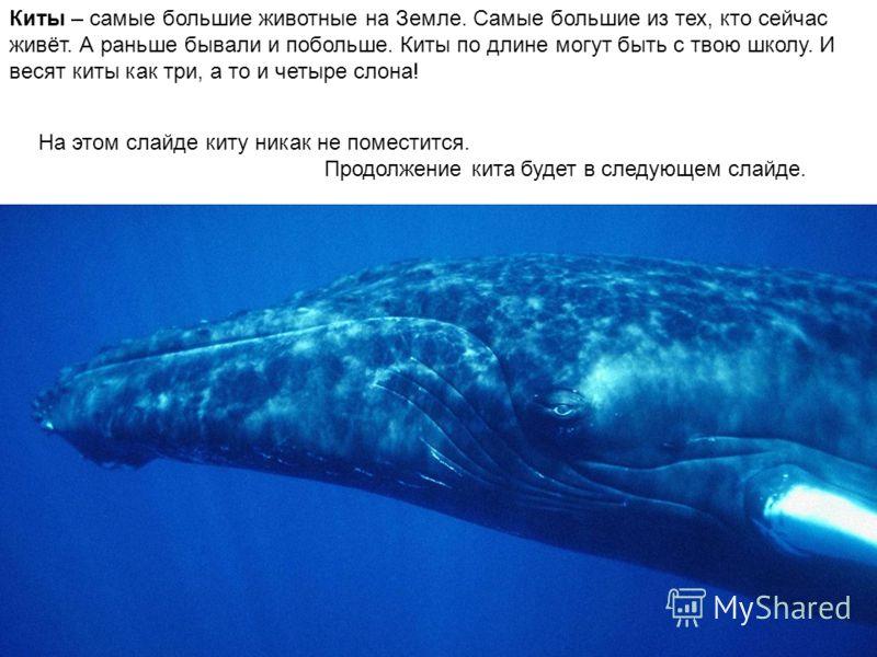 Киты – самые большие животные на Земле. Самые большие из тех, кто сейчас живёт. А раньше бывали и побольше. Киты по длине могут быть с твою школу. И весят киты как три, а то и четыре слона! На этом слайде киту никак не поместится. Продолжение кита бу