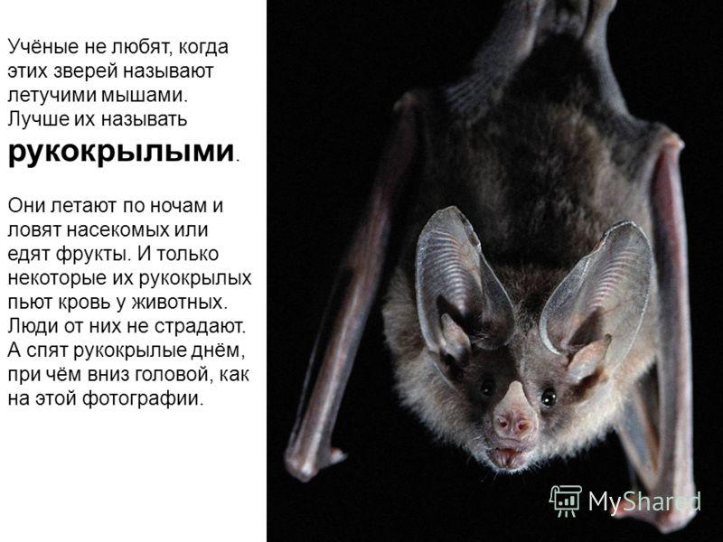 Учёные не любят, когда этих зверей называют летучими мышами. Лучше их называть рукокрылыми. Они летают по ночам и ловят насекомых или едят фрукты. И только некоторые их рукокрылых пьют кровь у животных. Люди от них не страдают. А спят рукокрылые днём