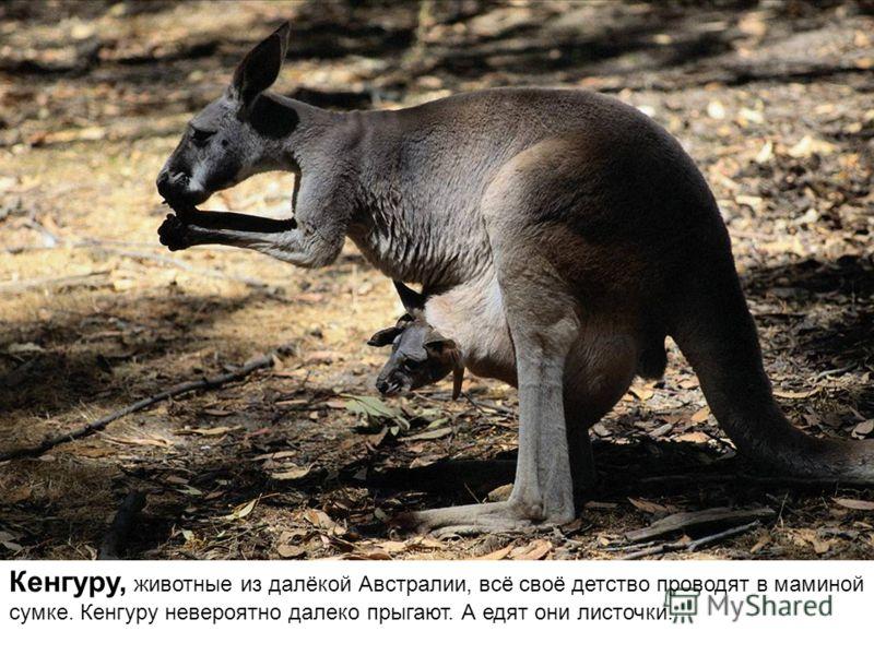 Кенгуру, животные из далёкой Австралии, всё своё детство проводят в маминой сумке. Кенгуру невероятно далеко прыгают. А едят они листочки.