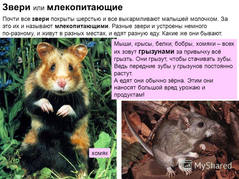 Звери или млекопитающие Почти все звери покрыты шерстью и все выкармливают малышей молочком. За это их и называют млекопитающими. Разные звери и устроены немного по-разному, и живут в разных местах, и едят разную еду. Какие же они бывают. Мыши, крысы
