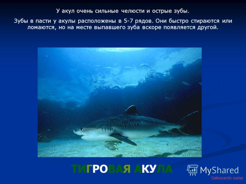 У акул очень сильные челюсти и острые зубы. Зубы в пасти у акулы расположены в 5-7 рядов. Они быстро стираются или ломаются, но на месте выпавшего зуба вскоре появляется другой. ТИГРОВАЯ АКУЛА Galeocerdo cuvier