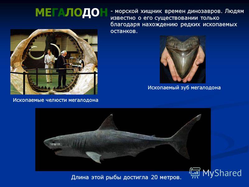 МЕГАЛОДОН Длина этой рыбы достигла 20 метров. - морской хищник времен динозавров. Людям известно о его существовании только благодаря нахождению редких ископаемых останков. Ископаемые челюсти мегалодона Ископаемый зуб мегалодона