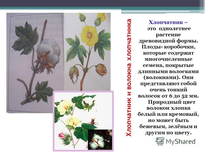 Хлопчатник и волокна хлопчатника Хлопчатник – это однолетнее растение древовидной формы. Плоды- коробочки, которые содержат многочисленные семена, покрытые длинными волосками (волокнами). Они представляют собой очень тонкий волосок от 6 до 52 мм. При