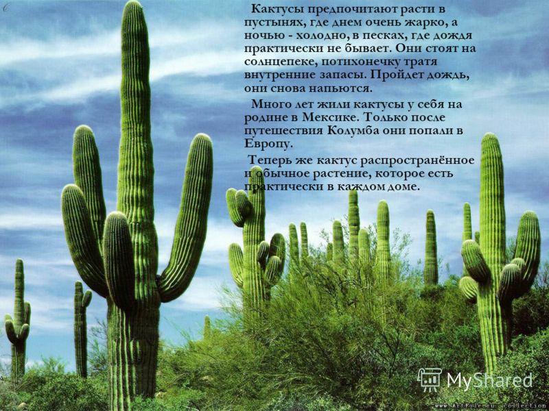 Кактусы предпочитают расти в пустынях, где днем очень жарко, а ночью - холодно, в песках, где дождя практически не бывает. Они стоят на солнцепеке, потихонечку тратя внутренние запасы. Пройдет дождь, они снова напьются. Много лет жили кактусы у себя