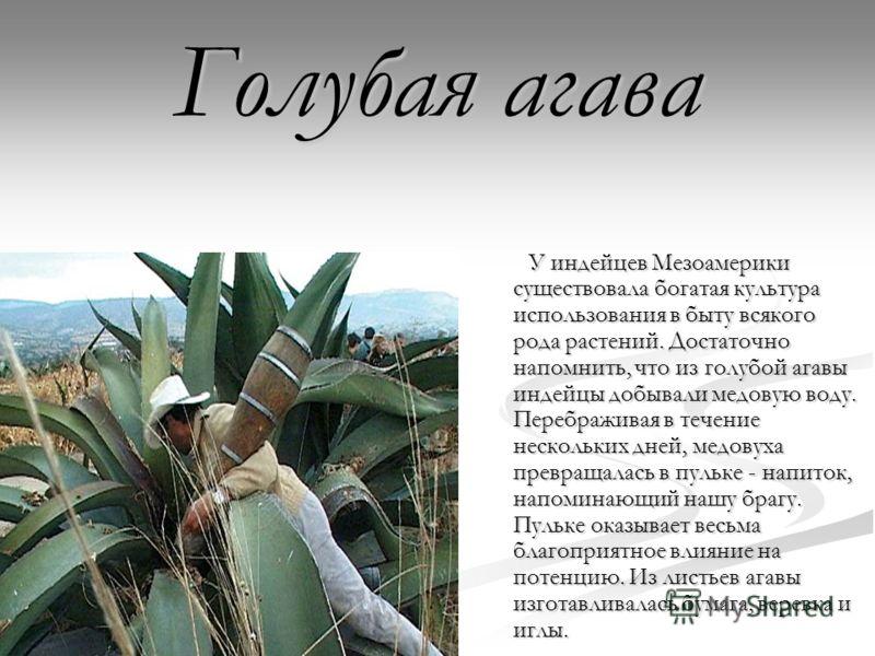 Голубая агава У индейцев Мезоамерики существовала богатая культура использования в быту всякого рода растений. Достаточно напомнить, что из голубой агавы индейцы добывали медовую воду. Перебраживая в течение нескольких дней, медовуха превращалась в п