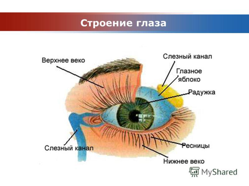 www.themegallery.com Company Logo Строение глаза