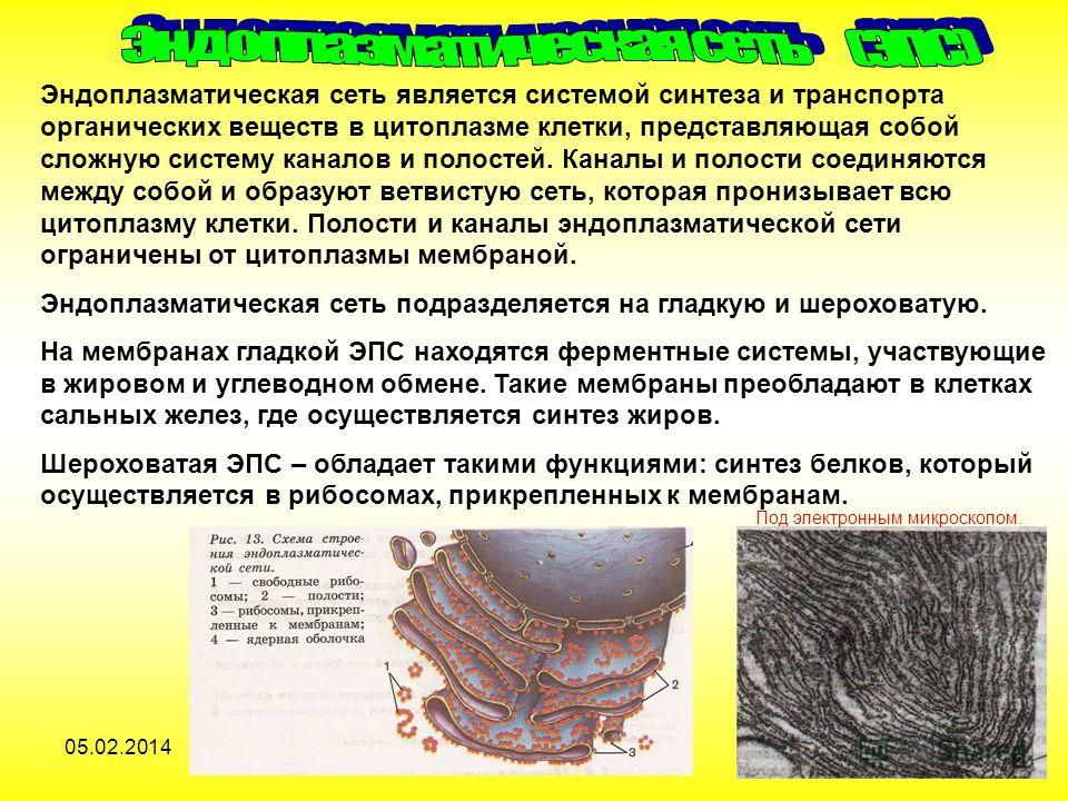05.02.20148 Эндоплазматическая сеть является системой синтеза и транспорта органических веществ в цитоплазме клетки, представляющая собой сложную систему каналов и полостей. Каналы и полости соединяются между собой и образуют ветвистую сеть, которая