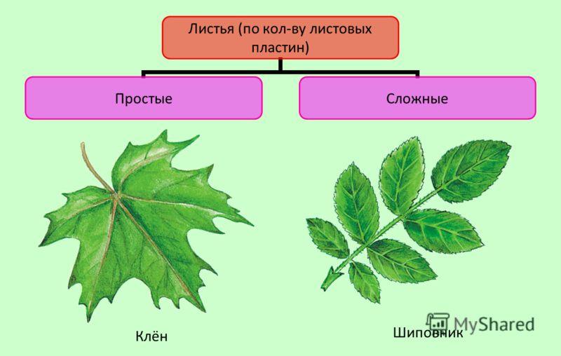 Листья (по кол-ву листовых пластин) ПростыеСложные Клён Шиповник