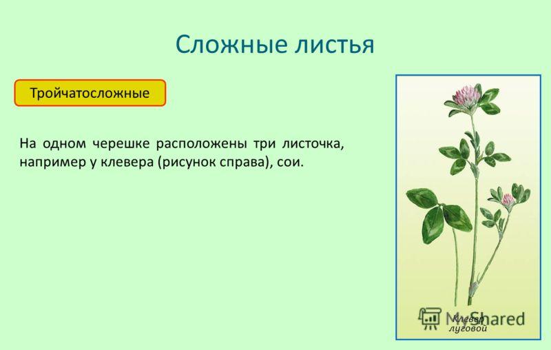Сложные листья Тройчатосложные На одном черешке расположены три листочка, например у клевера (рисунок справа), сои.