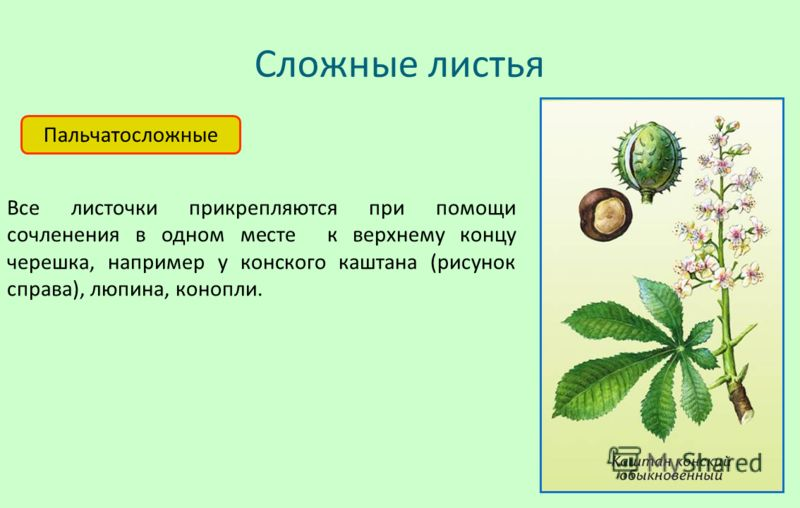Сложные листья Пальчатосложные Все листочки прикрепляются при помощи сочленения в одном месте к верхнему концу черешка, например у конского каштана (рисунок справа), люпина, конопли.