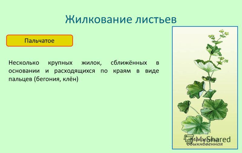 Жилкование листьев Пальчатое Несколько крупных жилок, сближённых в основании и расходящихся по краям в виде пальцев (бегония, клён)