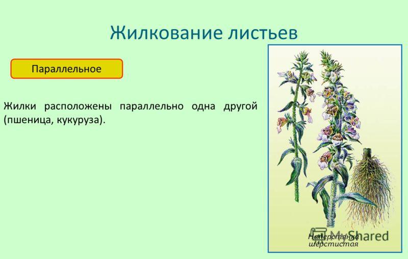 Жилкование листьев Параллельное Жилки расположены параллельно одна другой (пшеница, кукуруза).