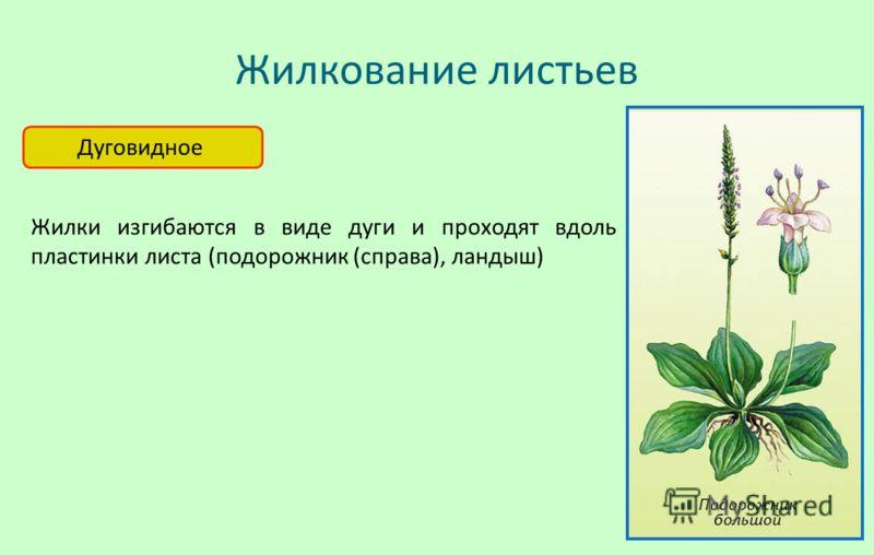 Жилкование листьев Дуговидное Жилки изгибаются в виде дуги и проходят вдоль пластинки листа (подорожник (справа), ландыш)