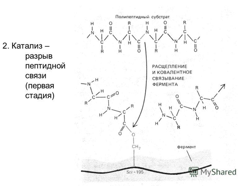 2. Катализ – разрыв пептидной связи (первая стадия)