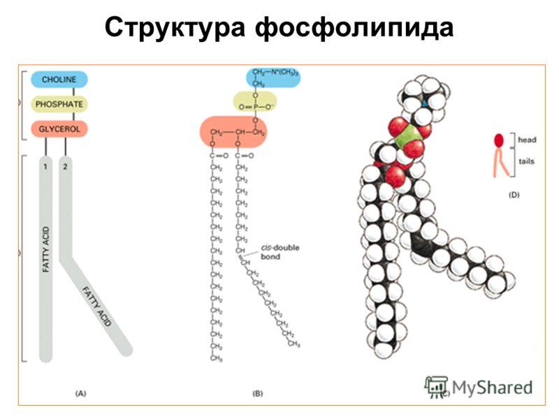 Структура фосфолипида