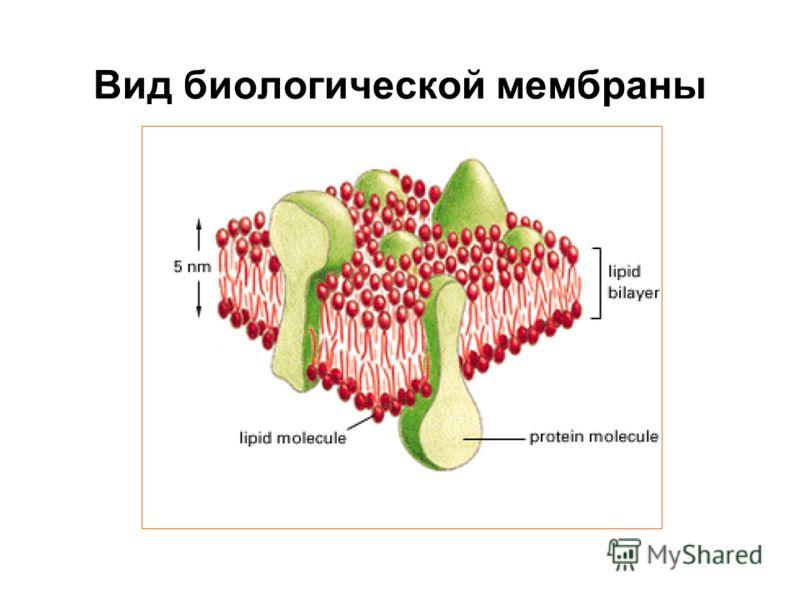 Вид биологической мембраны