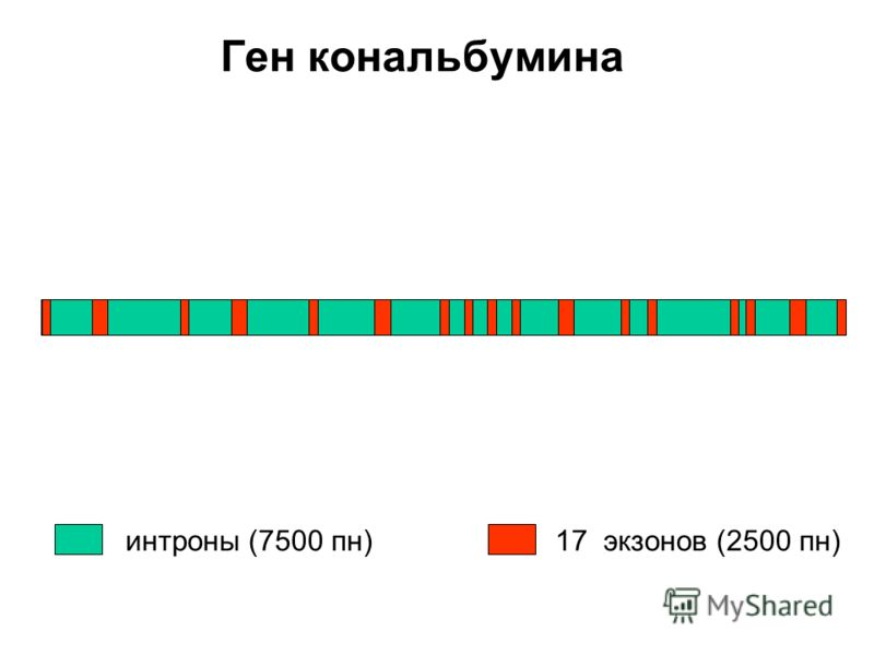 Ген кональбумина интроны (7500 пн)17 экзонов (2500 пн)