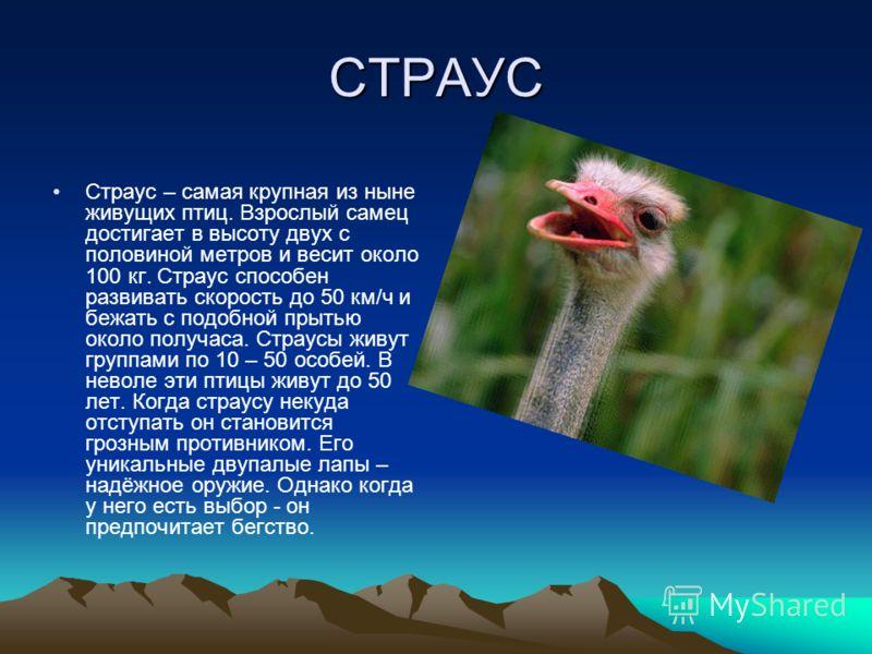 СТРАУС Страус – самая крупная из ныне живущих птиц. Взрослый самец достигает в высоту двух с половиной метров и весит около 100 кг. Страус способен развивать скорость до 50 км/ч и бежать с подобной прытью около получаса. Страусы живут группами по 10