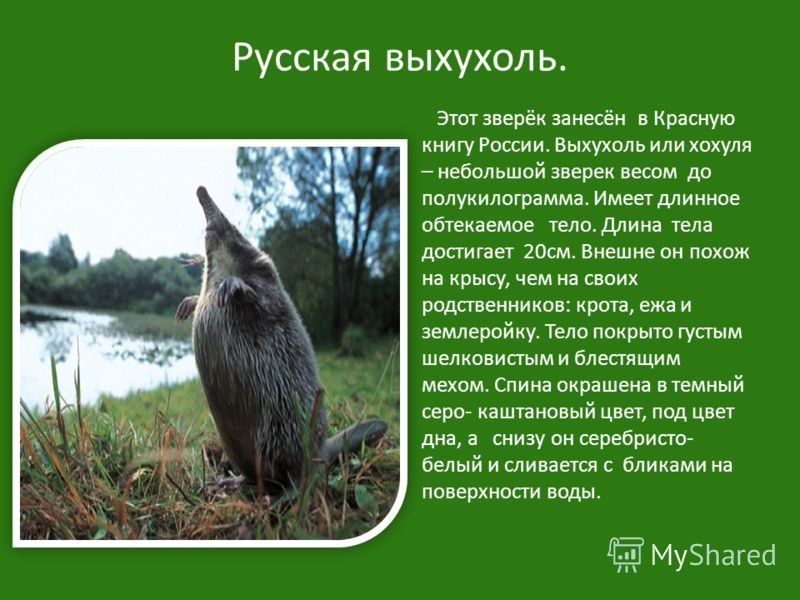 Русская выхухоль. Этот зверёк занесён в Красную книгу России. Выхухоль или хохуля – небольшой зверек весом до полукилограмма. Имеет длинное обтекаемое тело. Длина тела достигает 20см. Внешне он похож на крысу, чем на своих родственников: крота, ежа и