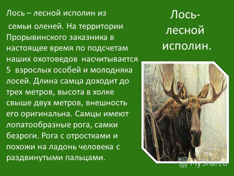 Лось- лесной исполин. Лось – лесной исполин из семьи оленей. На территории Прорывинского заказника в настоящее время по подсчетам наших охотоведов насчитывается 5 взрослых особей и молодняка лосей. Длина самца доходит до трех метров, высота в холке с