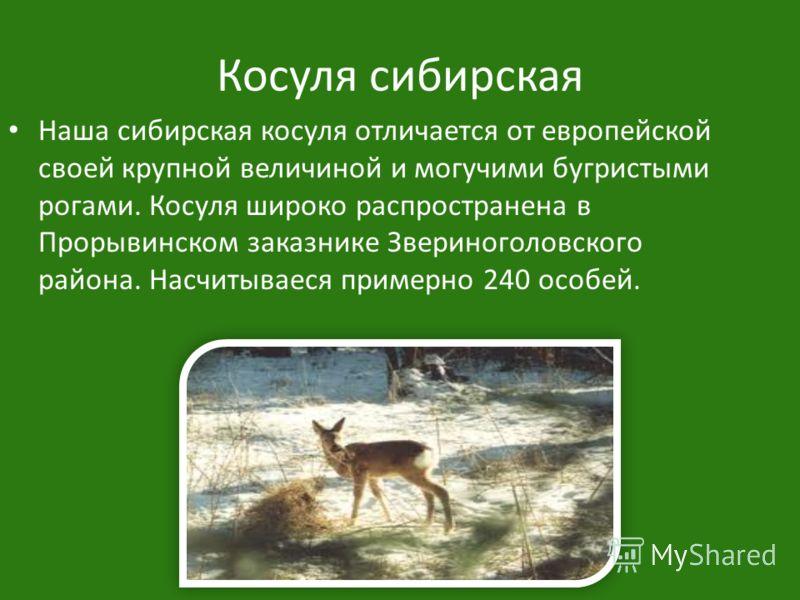 Косуля сибирская Наша сибирская косуля отличается от европейской своей крупной величиной и могучими бугристыми рогами. Косуля широко распространена в Прорывинском заказнике Звериноголовского района. Насчитываеся примерно 240 особей.
