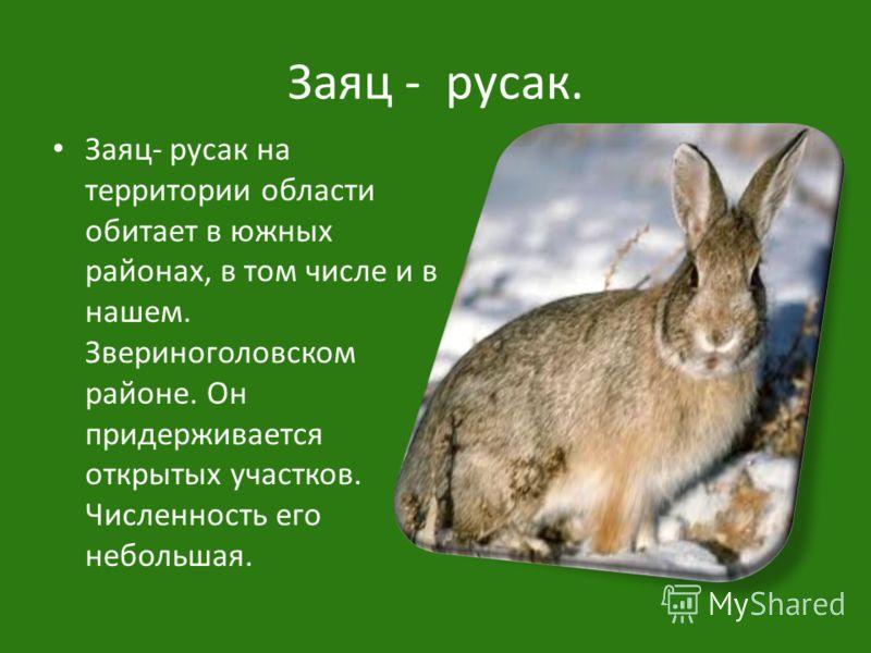 Заяц - русак. Заяц- русак на территории области обитает в южных районах, в том числе и в нашем. Звериноголовском районе. Он придерживается открытых участков. Численность его небольшая.