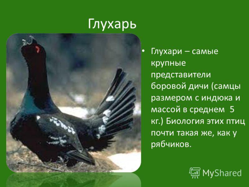 Глухарь Глухари – самые крупные представители боровой дичи (самцы размером с индюка и массой в среднем 5 кг.) Биология этих птиц почти такая же, как у рябчиков.