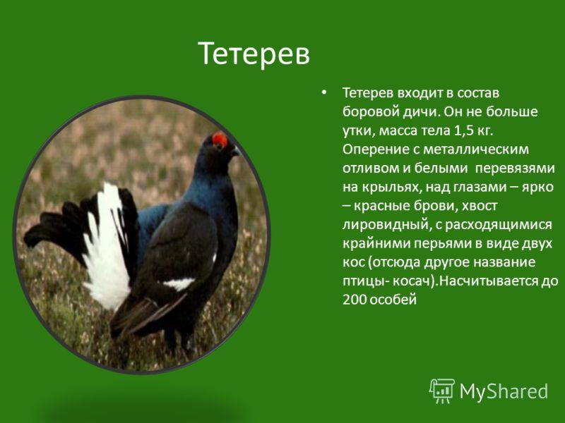 Тетерев Тетерев входит в состав боровой дичи. Он не больше утки, масса тела 1,5 кг. Оперение с металлическим отливом и белыми перевязями на крыльях, над глазами – ярко – красные брови, хвост лировидный, с расходящимися крайними перьями в виде двух ко