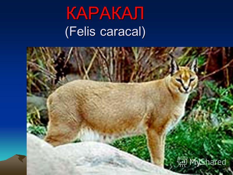 КАРАКАЛ (Felis caracal)