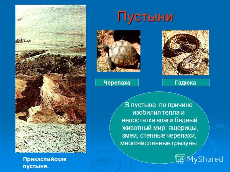 Пустыни Пустыни ГадюкаЧерепаха В пустыне по причине изобилия тепла и недостатка влаги бедный животный мир: ящерицы, змеи, степные черепахи, многочисленные грызуны. Прикаспийская пустыня.