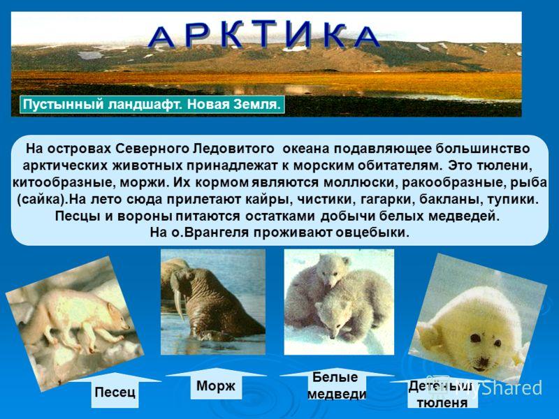 На островах Северного Ледовитого океана подавляющее большинство арктических животных принадлежат к морским обитателям. Это тюлени, китообразные, моржи. Их кормом являются моллюски, ракообразные, рыба (сайка).На лето сюда прилетают кайры, чистики, гаг