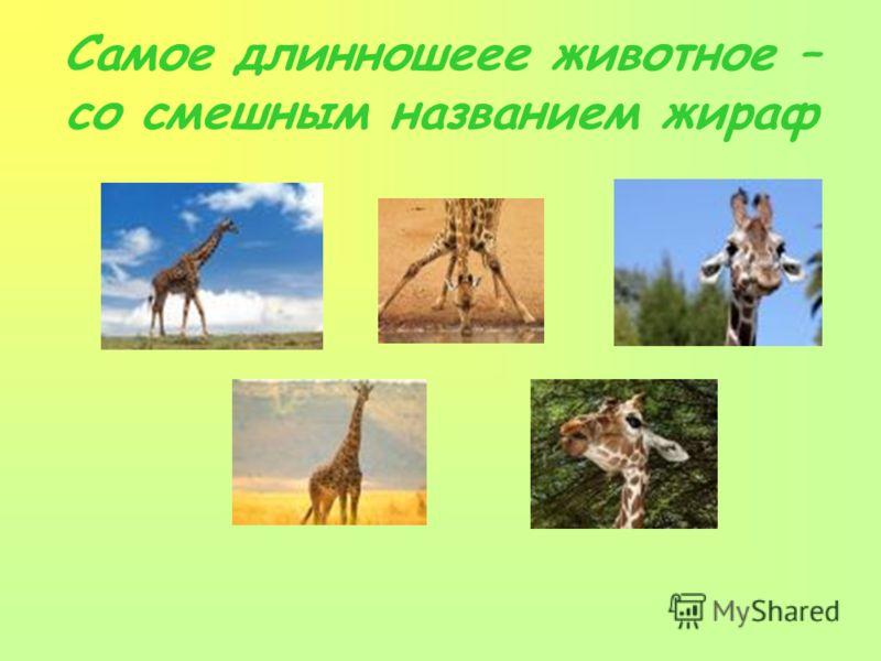 Самое длинношеее животное – со смешным названием жираф