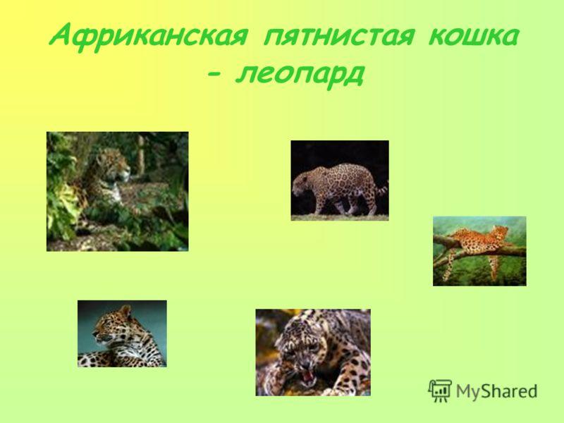 Африканская пятнистая кошка - леопард