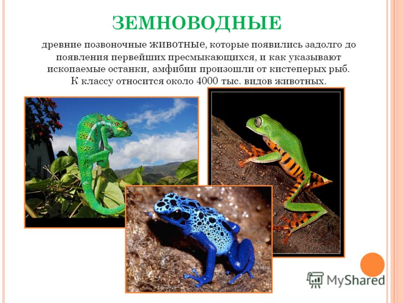 ЗЕМНОВОДНЫЕ древние позвоночные животные, которые появились задолго до появления первейших пресмыкающихся, и как указывают ископаемые останки, амфибии произошли от кистеперых рыб. К классу относится около 4000 тыс. видов животных.