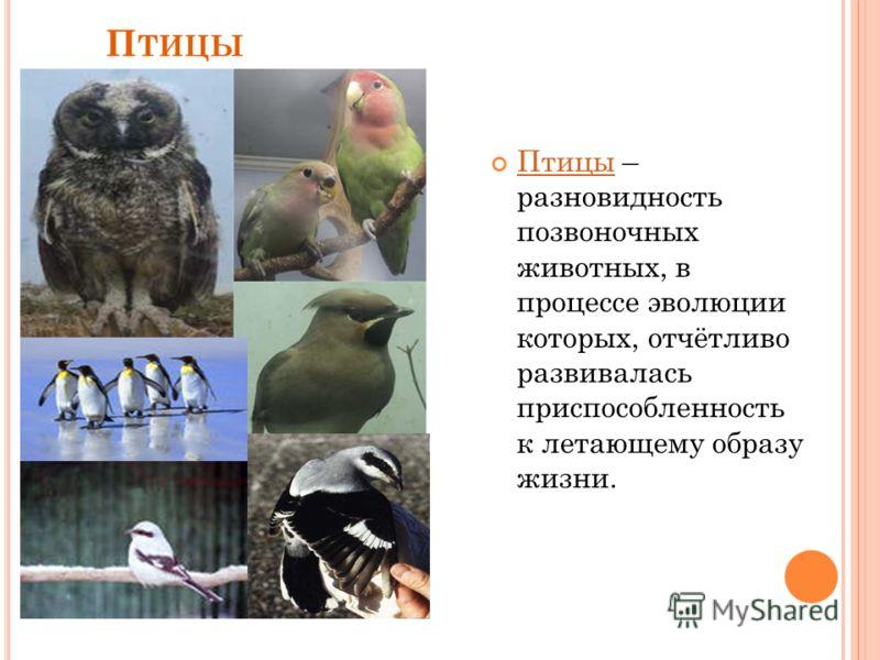 П ТИЦЫ Птицы – разновидность позвоночных животных, в процессе эволюции которых, отчётливо развивалась приспособленность к летающему образу жизни. Птицы