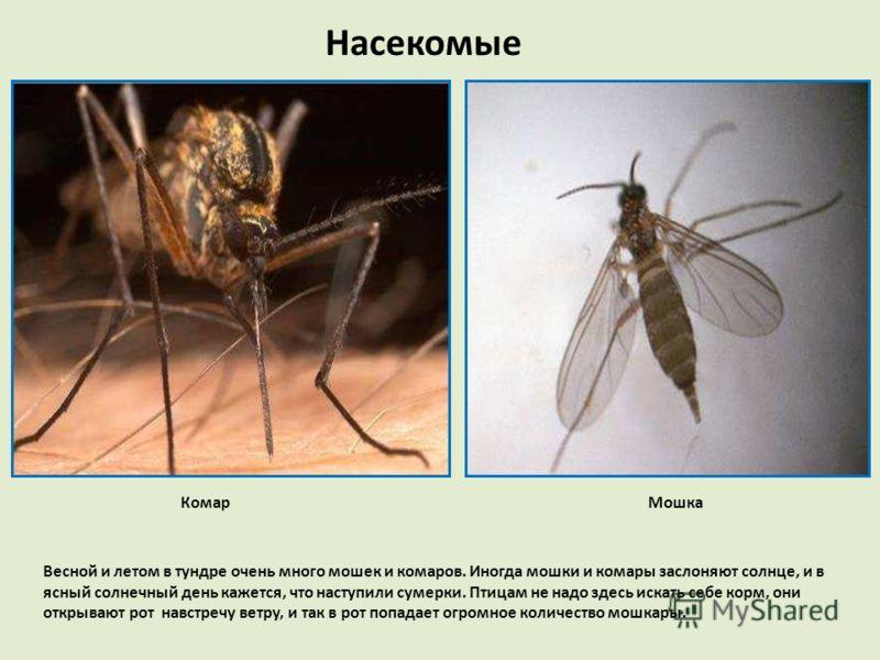 Насекомые КомарМошка Весной и летом в тундре очень много мошек и комаров. Иногда мошки и комары заслоняют солнце, и в ясный солнечный день кажется, что наступили сумерки. Птицам не надо здесь искать себе корм, они открывают рот навстречу ветру, и так