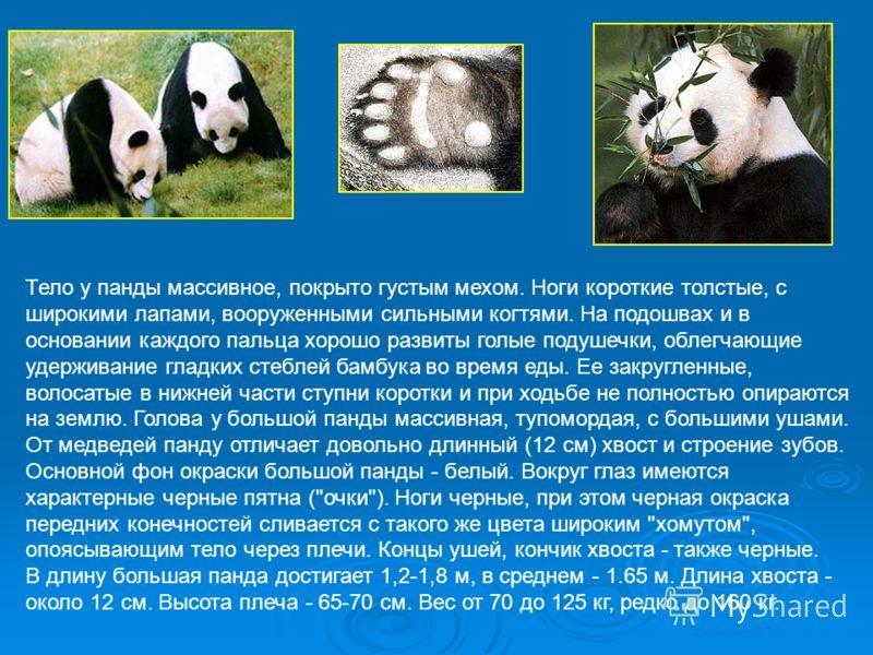 Тело у панды массивное, покрыто густым мехом. Ноги короткие толстые, с широкими лапами, вооруженными сильными когтями. На подошвах и в основании каждого пальца хорошо развиты голые подушечки, облегчающие удерживание гладких стеблей бамбука во время е