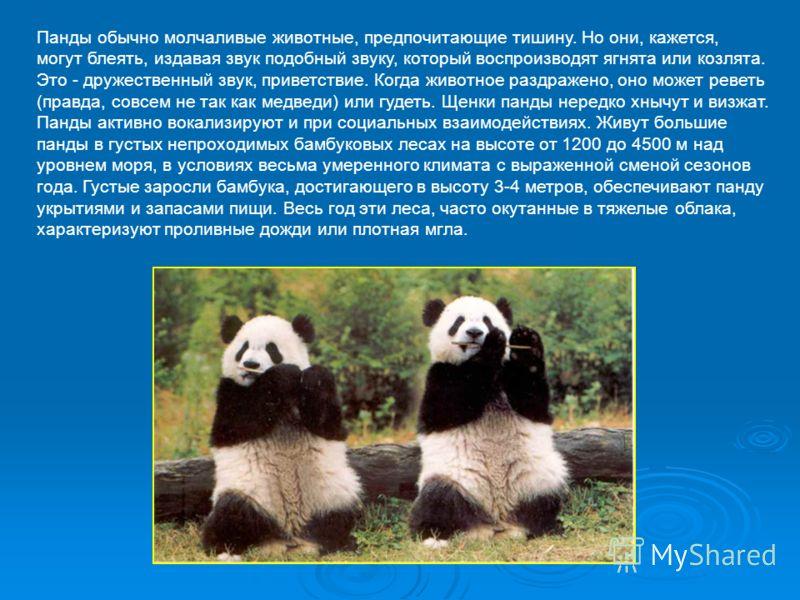 Панды обычно молчаливые животные, предпочитающие тишину. Но они, кажется, могут блеять, издавая звук подобный звуку, который воспроизводят ягнята или козлята. Это - дружественный звук, приветствие. Когда животное раздражено, оно может реветь (правда,