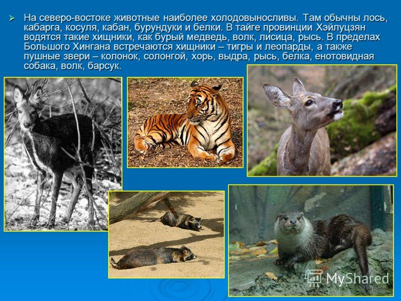На северо-востоке животные наиболее холодовыносливы. Там обычны лось, кабарга, косуля, кабан, бурундуки и белки. В тайге провинции Хэйлуцзян водятся такие хищники, как бурый медведь, волк, лисица, рысь. В пределах Большого Хингана встречаются хищники