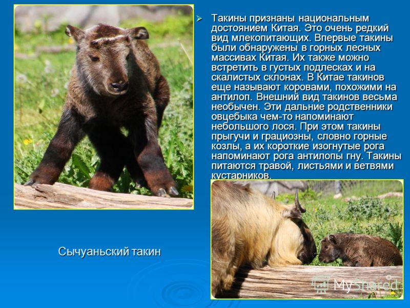 Сычуаньский такин Такины признаны национальным достоянием Китая. Это очень редкий вид млекопитающих. Впервые такины были обнаружены в горных лесных массивах Китая. Их также можно встретить в густых подлесках и на скалистых склонах. В Китае такинов ещ