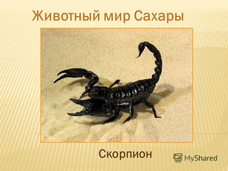Животный мир Сахары Скорпион
