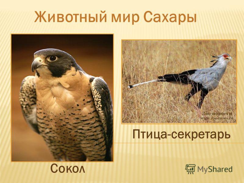 Животный мир Сахары Сокол Птица-секретарь